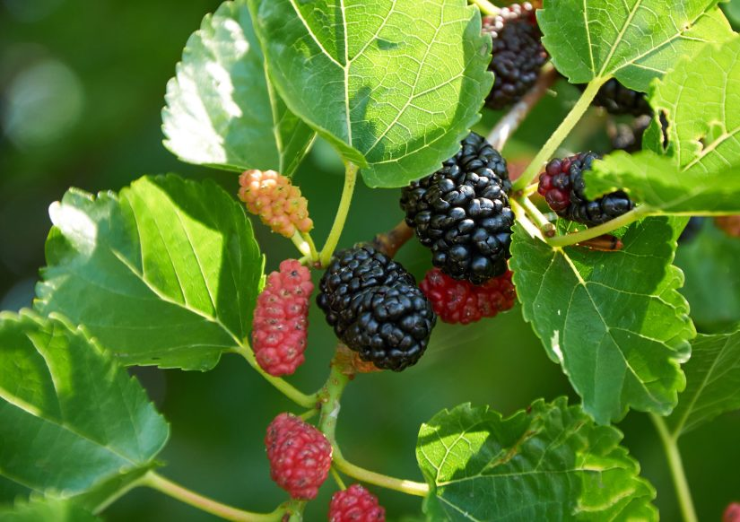 Mulberry trees bear small, unremarkable blooms that become plentiful fruits that look much akin to a slender blackberry.