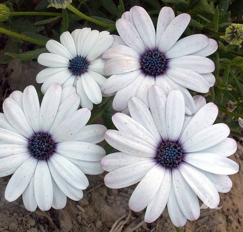 Cape Daisy has pure white petals that are offset by deep purple eyes.