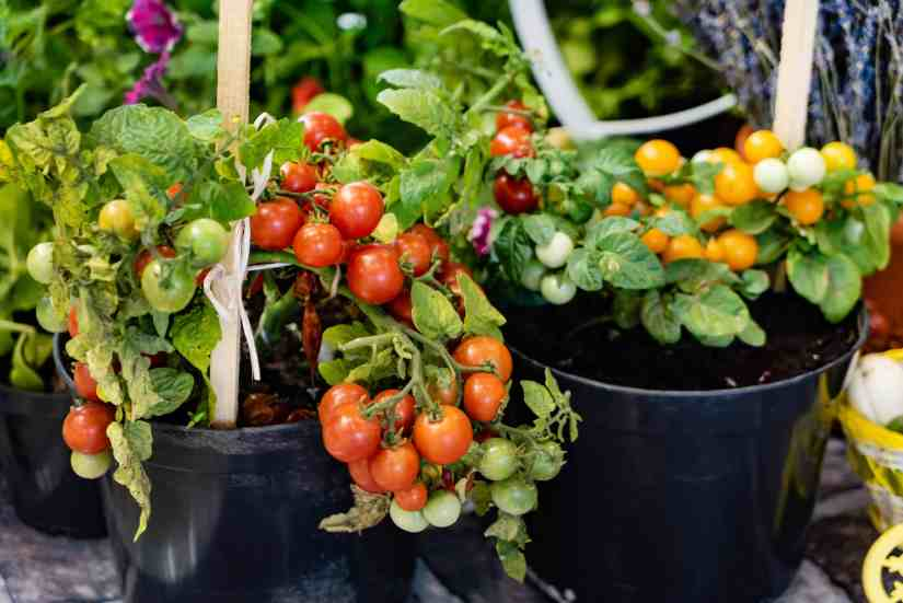 You can grow any type of tomato in a container as long as the container is large enough to hold enough soil to keep the plant upright and support the plant's nutrient and water needs.
