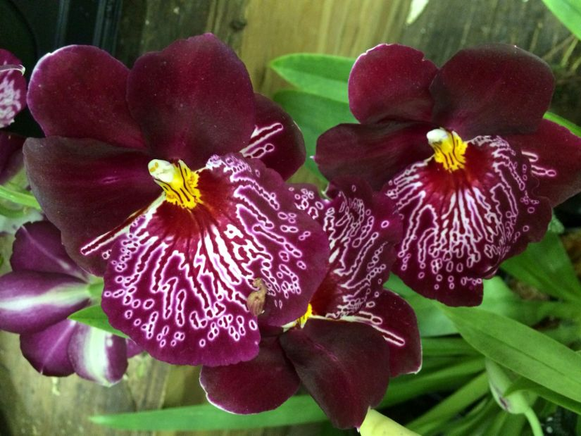 Miltoniopsis are cool-growing orchids that originate in the higher elevations of the Andes in Colombia, Panama and Ecuador.