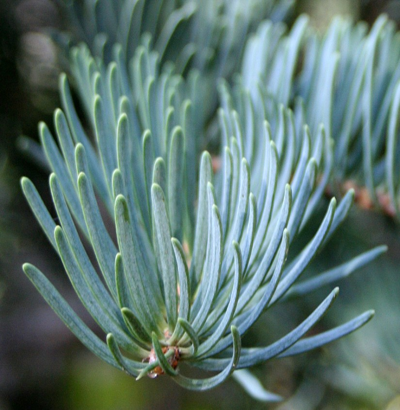Concolor fir needles are bluish or silvery-green and roughly 1½–3