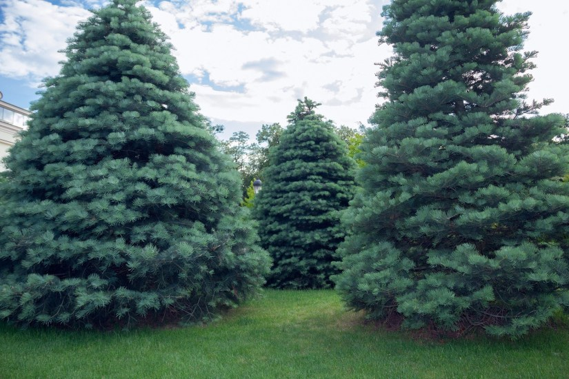 Concolor fir is a great evergreen tree for the Midwestern landscape. Not only is it beautiful but it is one of the most adaptable firs.