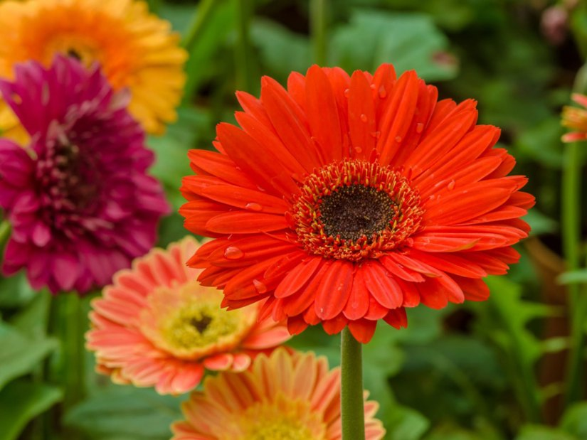 Gerbera daisy also known as Transvaal daisy are commonly planted in gardens as bedding plants or in containers in South Carolina.