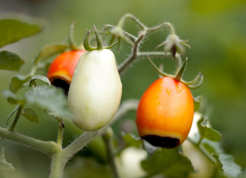 Some problems that might occur are tomato leaf spots, early blight (Alternaria), and fruit worms.