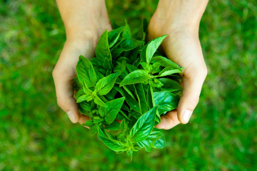 Basil is an adaptogen with anti-inflammatory and antioxidant properties, holy basil provides all of these benefits.