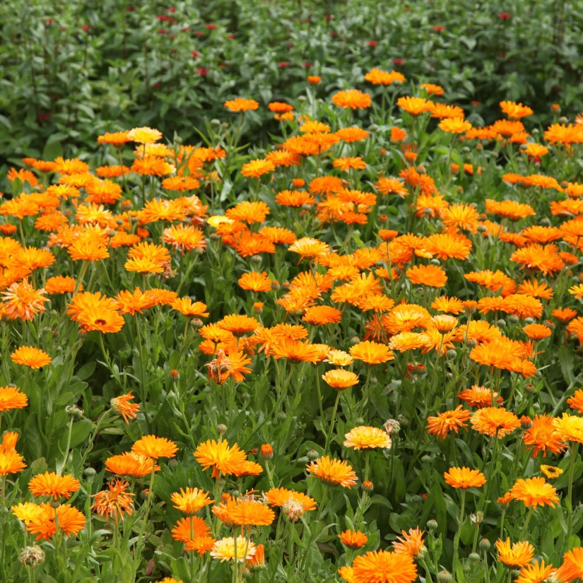 Daisy flowers are vibrant, cheerful, and easy to grow, making them a proven choice for gardens.