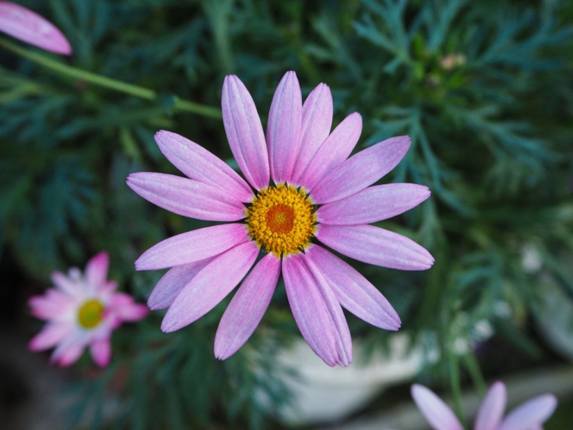 Marguerite available in a variety of hues from white or yellow to pink or purple depending on the species, these daisies are similar in appearance to the shasta daisy.