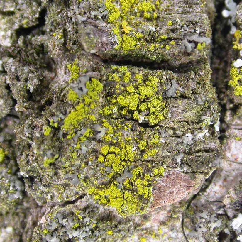 This lichen has small, sometimes continuous, granules that become covered in bright yellow soredia giving it a fluffy appearance.