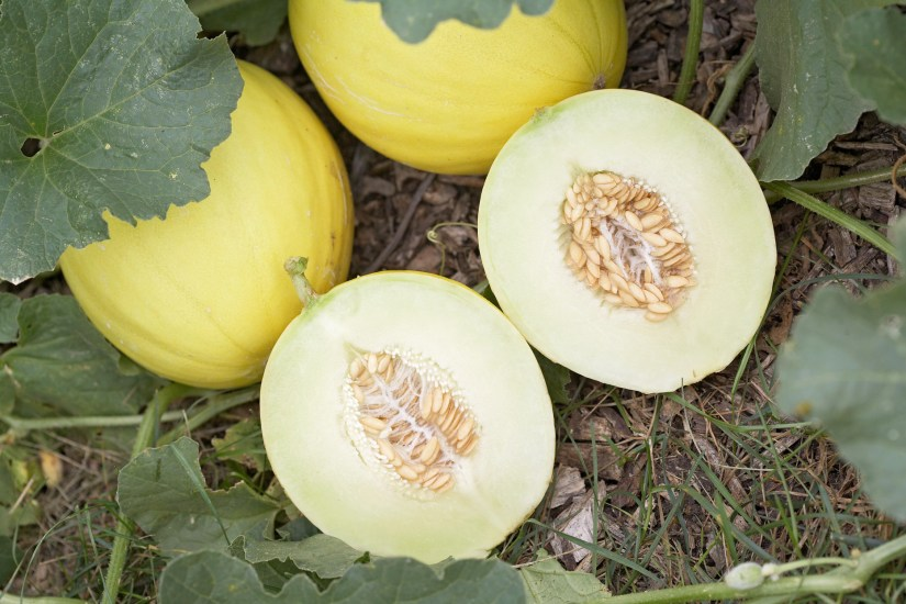 Casaba may not pack the flavour found in other melons, but they can be stored longer than most.