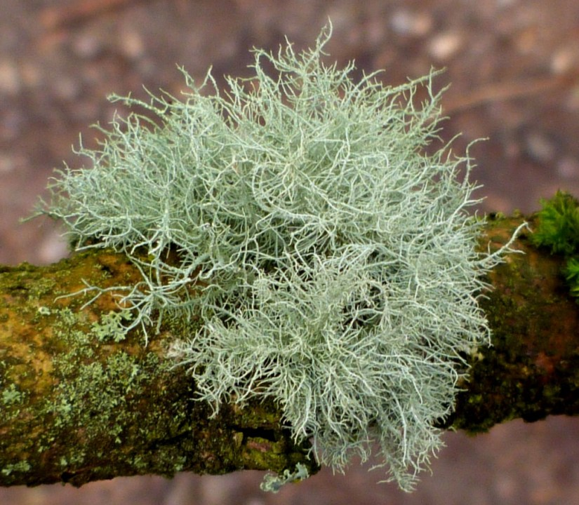 Usnea is a genus of mostly pale grayish-green fruticose lichens that grow like leafless.