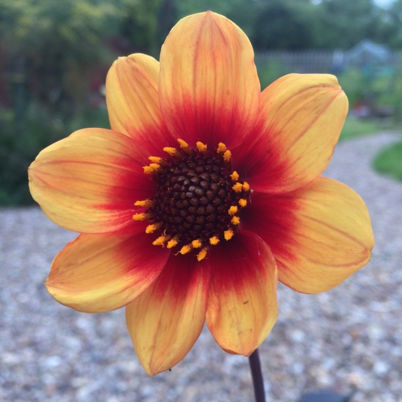 Mignon Dahlias possess the same formation as Single Dahlias except they have round ray floret tips, their disc flowers have no more than two rows of pollen and their blooms are under two inches in diameter.