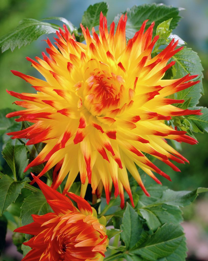 Cactus dahlias have the most exceptional flowers. They have beautiful 'spiny' petals that are rolled up along more than two-thirds of their length.