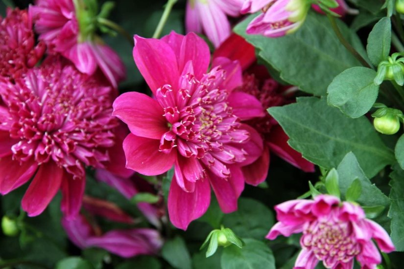 Anemone Dahlias feature an outer ring of flat ray petals arranged in a wreath and surrounding masses of tiny, elongated disk florets which form an intriguing floral pincushion.