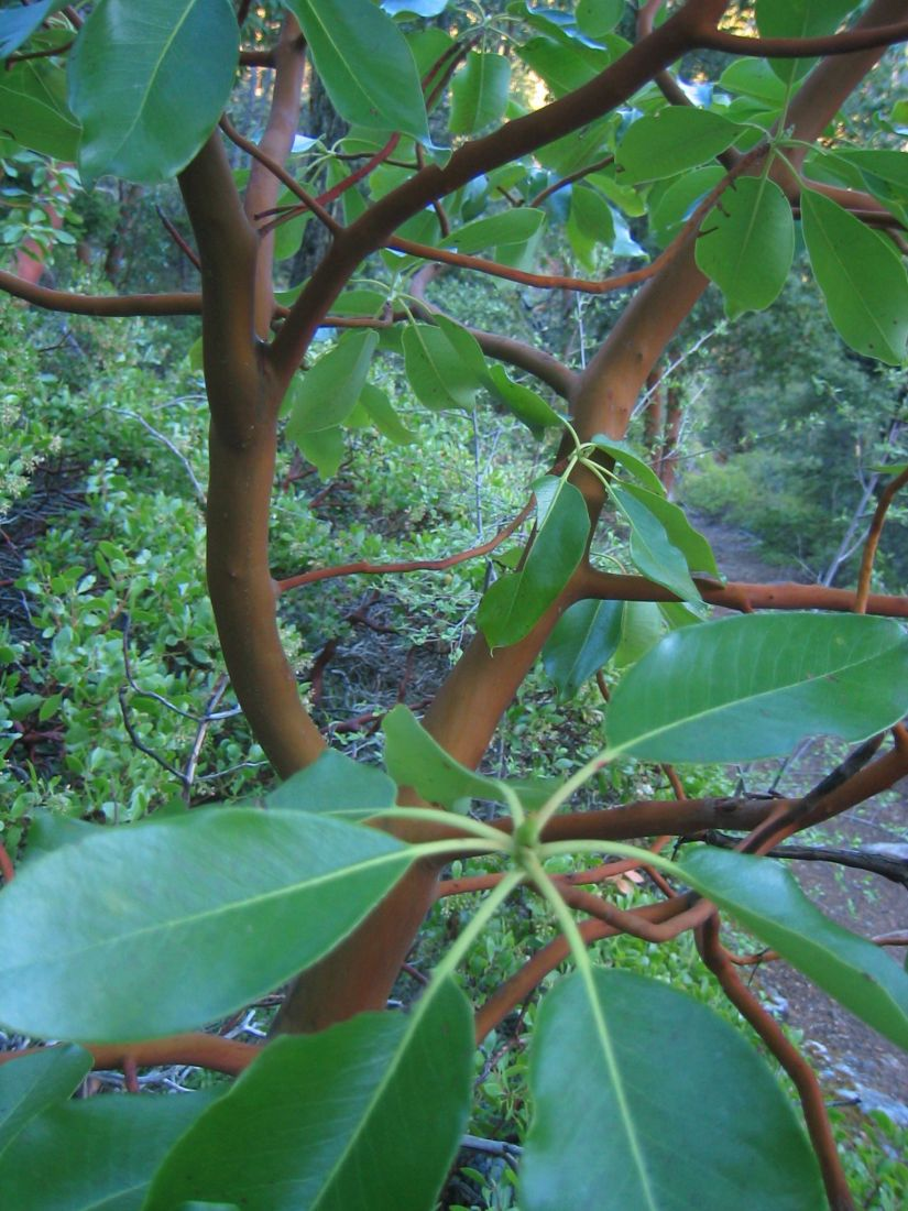 Madrones are notoriously difficult to transplant. Some authorities recommend buying seedlings that have been marked with north or south on the seedling tube so that you can plant the tree with the same orientation it's been used to.
