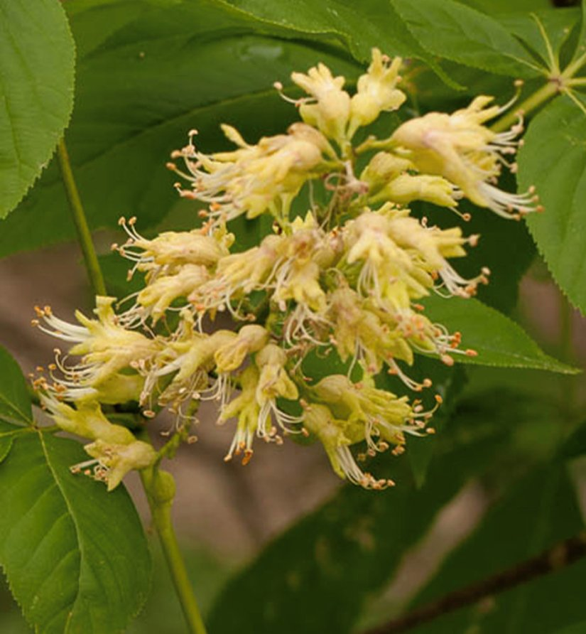 Buckeye showy flowers in spring, which mature to large dark brown capsules by early fall.