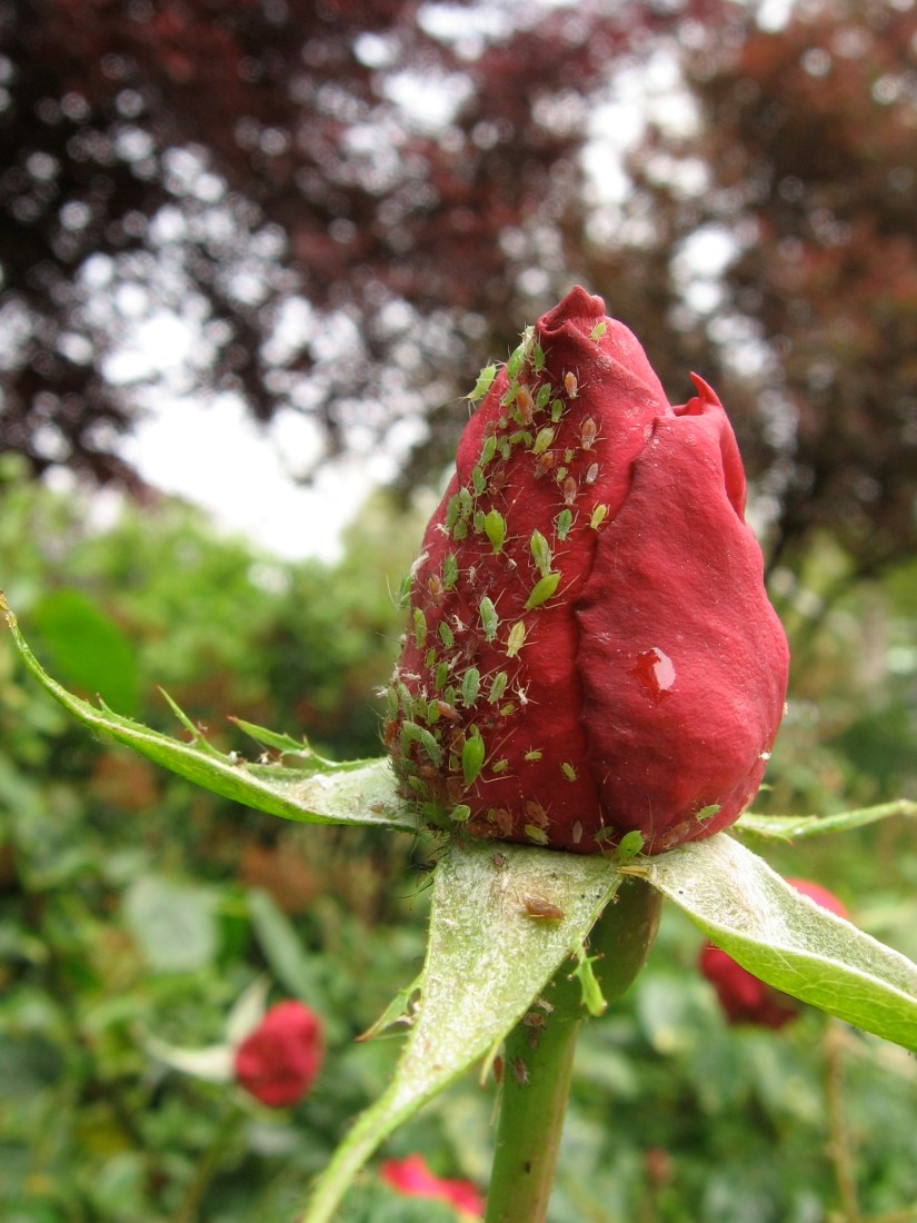 aphids on roses can be picked off by hand and squished or sometimes a quick tapping of the bloom or foliage will knock them to the ground.