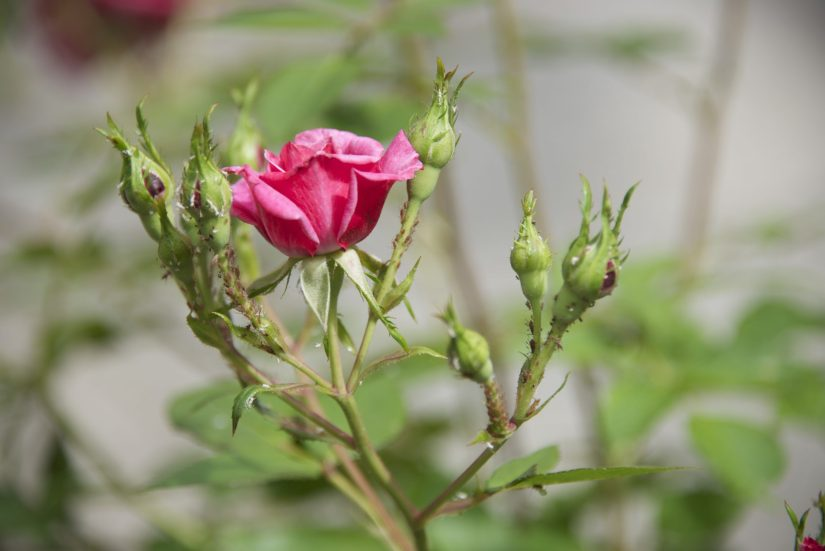 Typical for the damage caused by aphids are deformed, discoloured and sticky, shiny leaves.