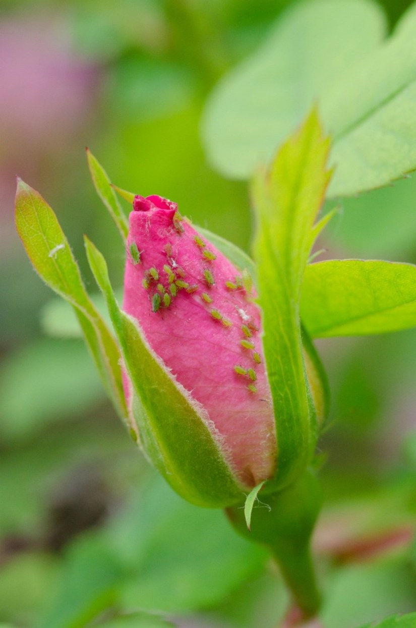 You can often get rid of aphids by wiping or spraying the leaves of the plant with a mild solution of water and a few drops of dish soap. Soapy water should be reapplied every 2-3 days for 2 weeks.