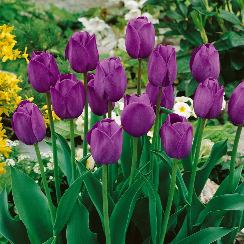 Light purple-violet with a black centre edged white on the inside with classical bowl shaped flowers. Tulip Attila ia a favourite for bedding and cut flower.