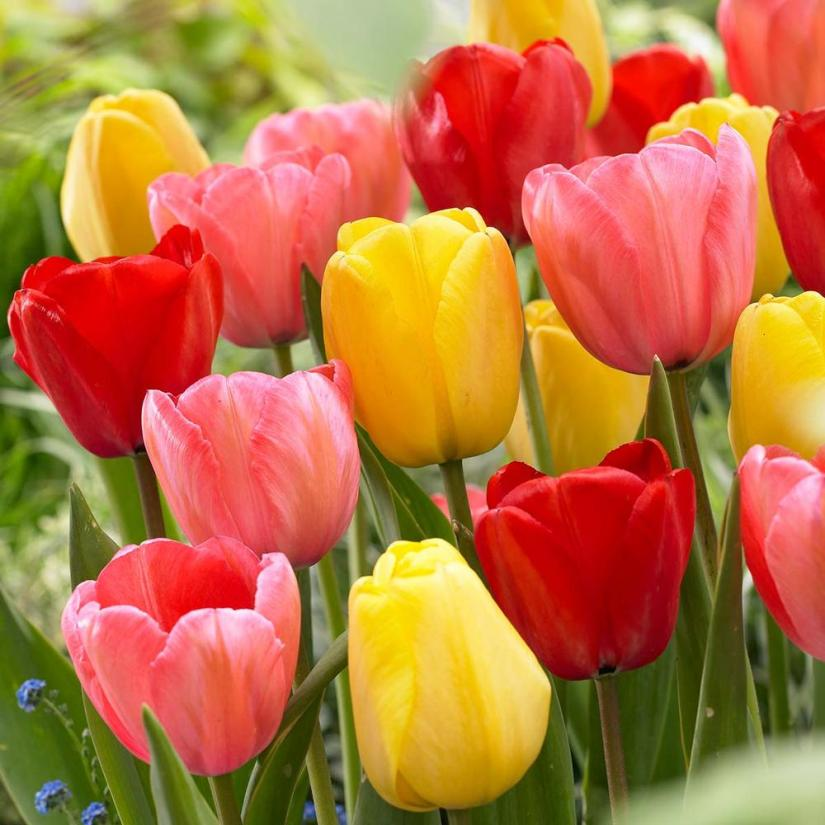 Darwin hybrid tulips are a cross between single late tulips and early emperor tulips. This parentage is what gives them their large, shapely blossoms and relatively early bloom time.