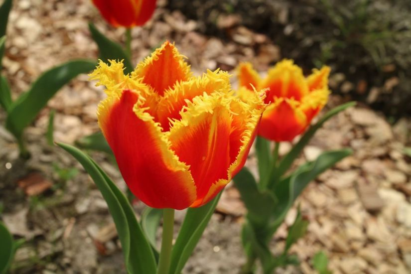 Tulip Davenport is exceptionally beautiful with its brilliant crimson-red blossoms ending in delicate canary-yellow fringes. Blooming in mid-late spring, this spectacular member of the Fringed Tulips group enjoys a long stem and will look ravishing in a vase!