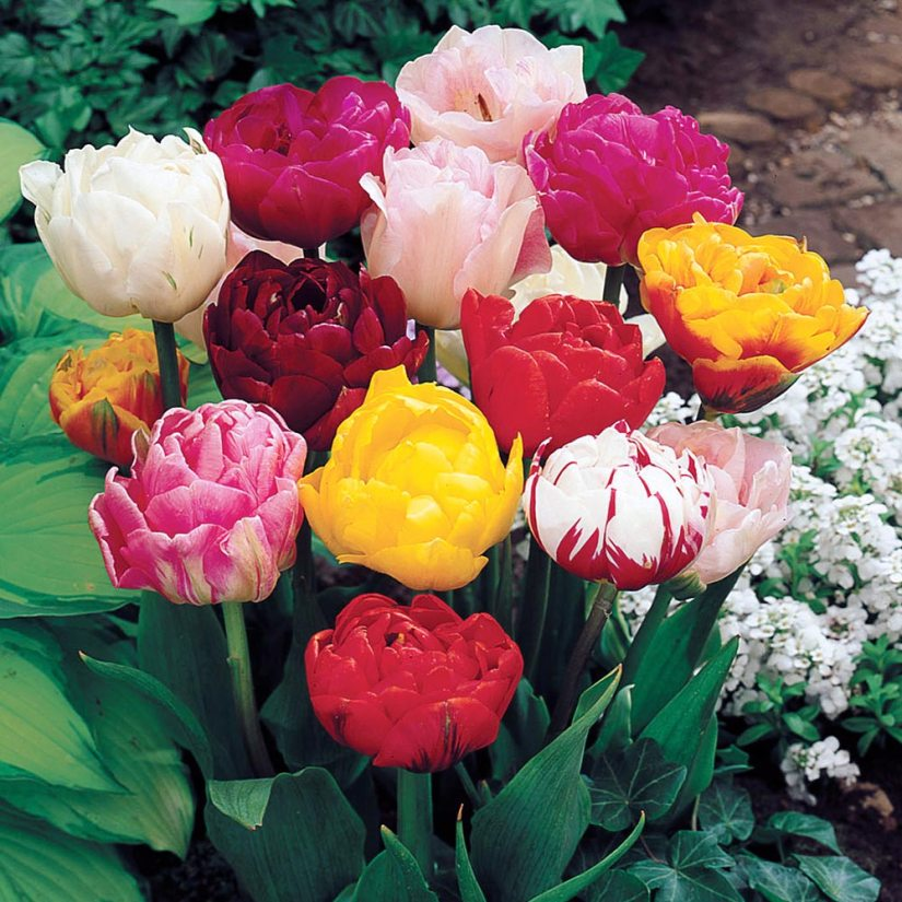Double Late Tulips are also known as peony-flowered tulips. The flowers, which are always large and double, can easily reach a span of 4 in. across (10 cm). Some cultivars are sweetly fragrant.
