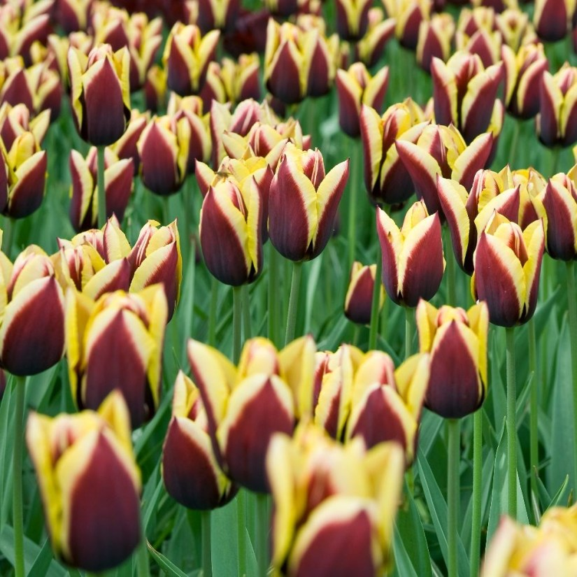 Award winner Tulip gavota is a gorgeous bicolor cultivar that always seems to stand out, with its unique deep maroon flowers beautifully edged with shades of creamy yellow. Wet, windy weather during its flowering period in mid-late spring will have little effect on gavota.