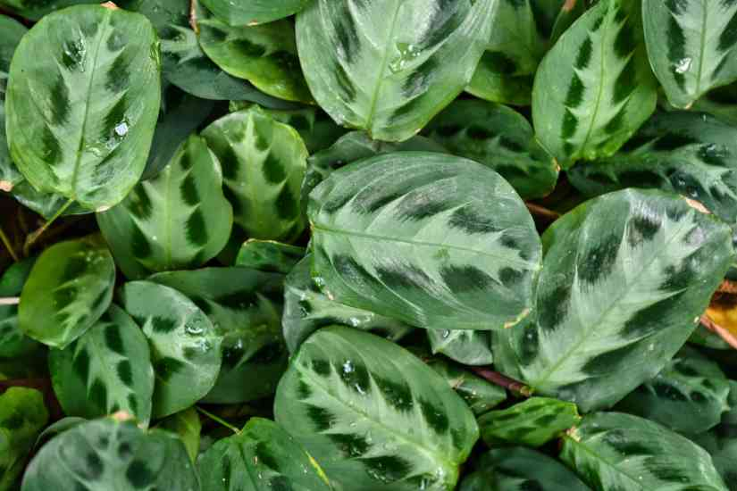"""Maranta cultivars have two stand out as being the most commonly grown: """"Erythroneura"""" and """"Kerchoviana."""" Erythroneura, also called red nerve plant, has greenish black foliage marked with brilliant red midrib and lateral veins and feathered with a light greenish-yellow center."""