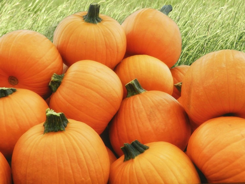 A pumpkin that's ready for harvest should be fully colored—whatever that hue might be. The rind should also be firm. If your fingernail easily pierces or creates an indentation in the skin, the pumpkin isn't ready to harvest. Pick a pumpkin that's too soft, and it will shrivel within a few days.