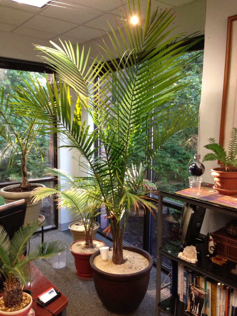 Majesty palm is a slow-growing palm with long arching green fronds atop multiple stems. It is is usually grown as a large houseplant, though it can reach heights of up to 90 feet in its native outdoor environment.