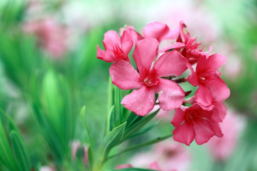 Oleander (Nerium oleander) is a fragrant flowering evergreen shrub or small tree that is in bloom from spring through fall.