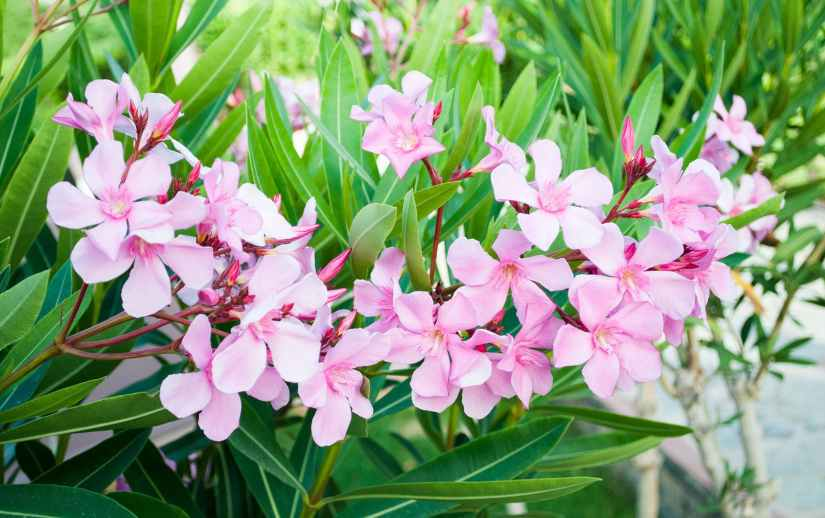 Oleander is an outdoor shrub, popular for its evergreen qualities and delicate flowers. Oleander contains naturally-occurring poisons that affect the heart.