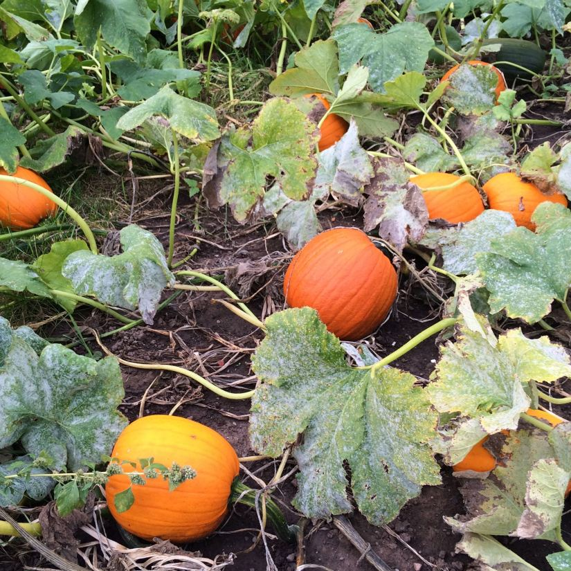 If you're planting in a raised bed or garden, choose a spot where vines have room to ramble. In a raised bed, plant pumpkins near the edge of the bed so you can train the vine over the edge, leaving the rest of the bed for other plants.