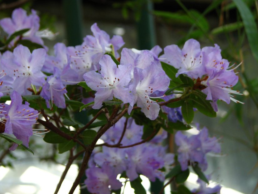 Rhododendron augustinii is a medium sized evergreen shrub with bright lavender blue flowers.