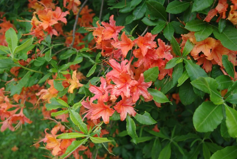 Calendulaceum commonly known as flame azalea, is an upright, loosely branched deciduous shrub that typically matures to 4-8' (infrequently to 10-15') tall and to 8-10' wide.