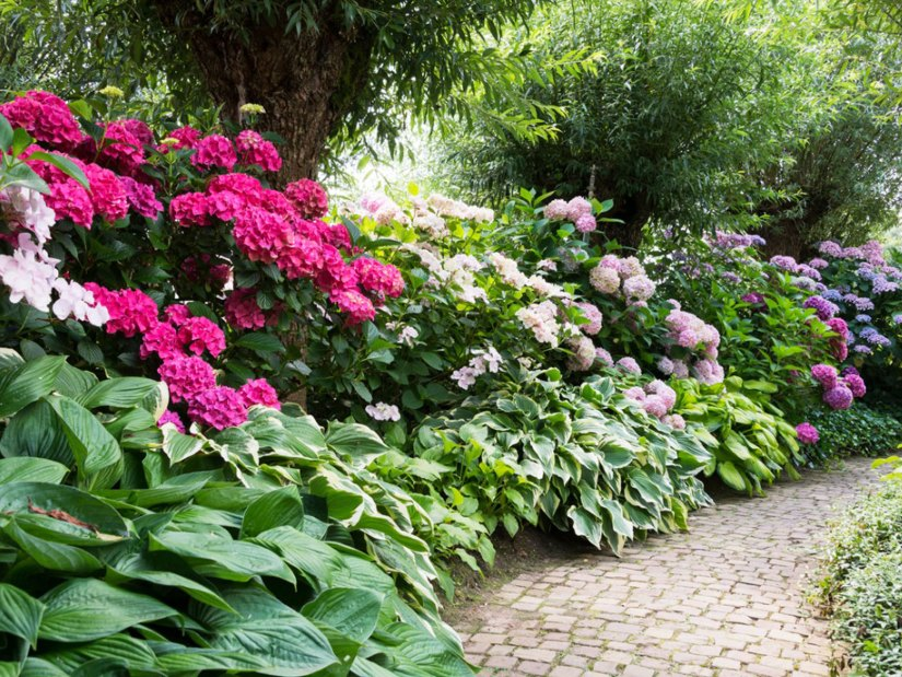 Among the most popular companion plants for Rhododendrons and Azaleas are Kalmia latifolia (Mountain Laurel) and Pieris japonica (Japanese andromeda). Both species are medium-size evergreen shrubs with great flower interest and they provide a textural contrast to Azaleas and Rhododendrons.