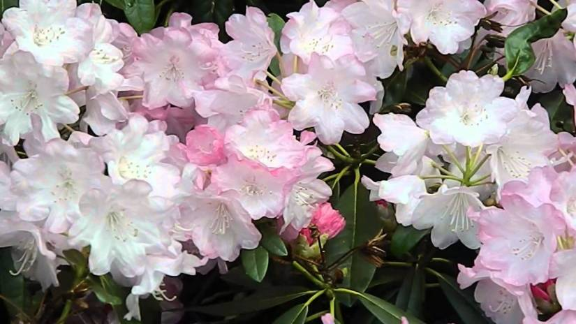 Rhododendron degronianum is a species of rhododendron native to northern parts of Honshu, the largest island of Japan, where it grows at altitudes of about 1,800 meters.