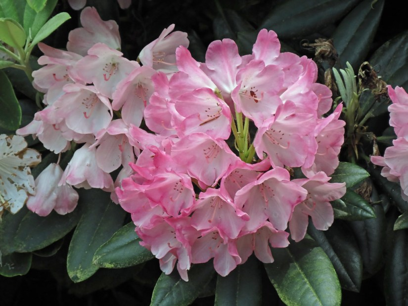 Rhododendron degronianum are found only in Japan, where they grow on hilltops and mountains on Honshu, Kiyushu and Shikoku Islands