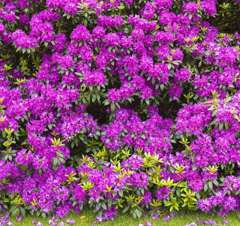 Evergreen rhododendrons are among the most popular flowering shrubs. They add bursts of color as specimen plants in any garden. Rhododendron blooms, which are larger than azalea blooms, usually open in May, and our plants bloom the first year.