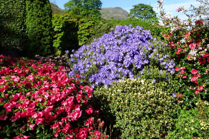 """Rhododendron, meaning """"red tree,"""" refers to the red flowers and woody growth of some species, but rhododendrons range in habit from evergreen to deciduous and from low-growing ground covers to tall trees."""
