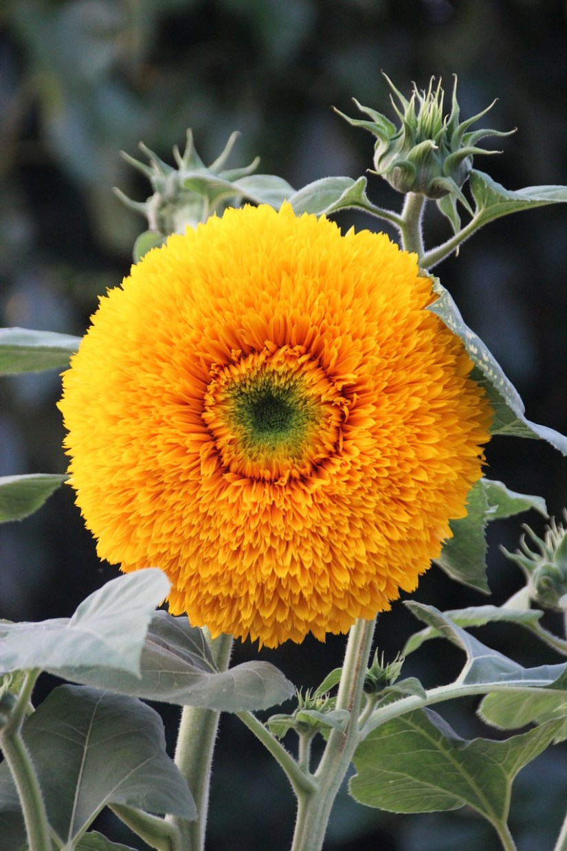 Sunflower Teddy Bear is a short, bushy plant with fluffy, golden-yellow blooms that appear from mid-summer to the first frost in autumn.