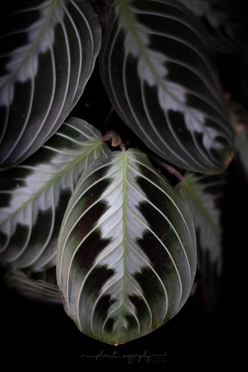 The black variety of maranta has a bluish-silver color on the leaves, with purple spots and a deep green leaf.