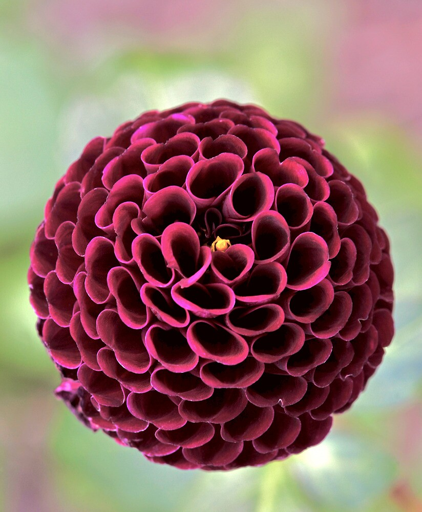 Pompon dahlias, as their name suggests, have pompon-like flowers – the petals curve inwards to create stunning, intricate blooms up to 5cm across.