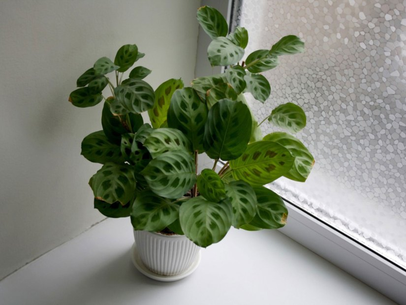 In front of a north, or near an east facing window is great. If keeping these plants in rooms with west or south facing windows find a bright protected area away from the direct shine of the sun.