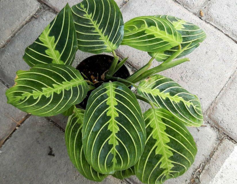 Maranta leuconeura 'Marisela' has striking oval leaves, dark green with a herringbone-like pattern of light yellow veining.