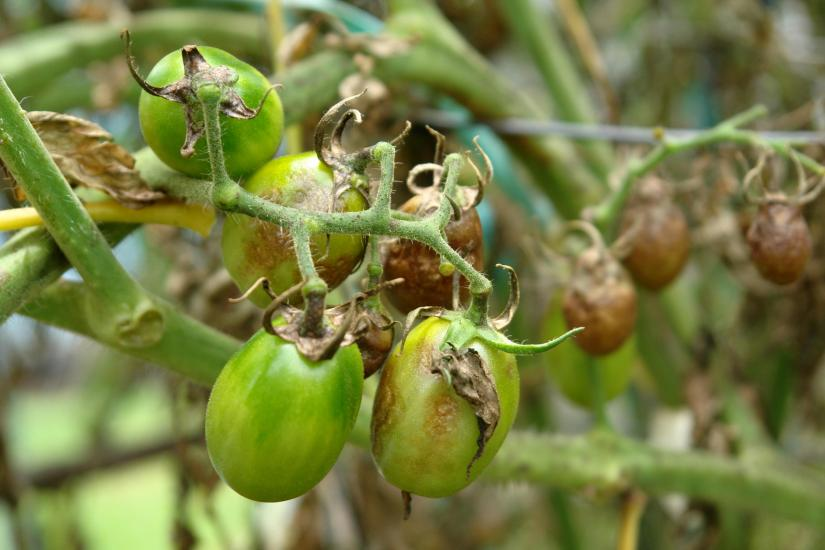 Symptoms appears at the edge of tomato leaves, with dark, damaged plant tissue that spreads through the leaves toward the stem.
