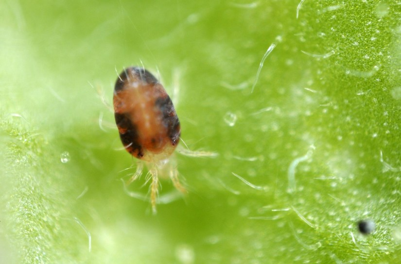Spider mites are not true insects, but are classed as a type of arachnid, relatives of spiders, ticks and scorpions.