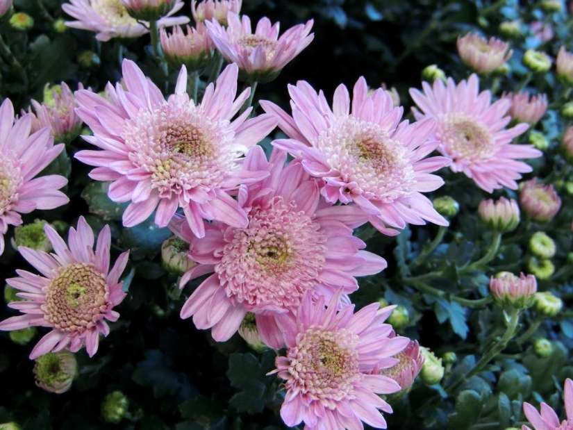 Anemone mums have prominent, raised, cushion-like centers, made up of disk florets, and petal-like ray florets which surround the center.