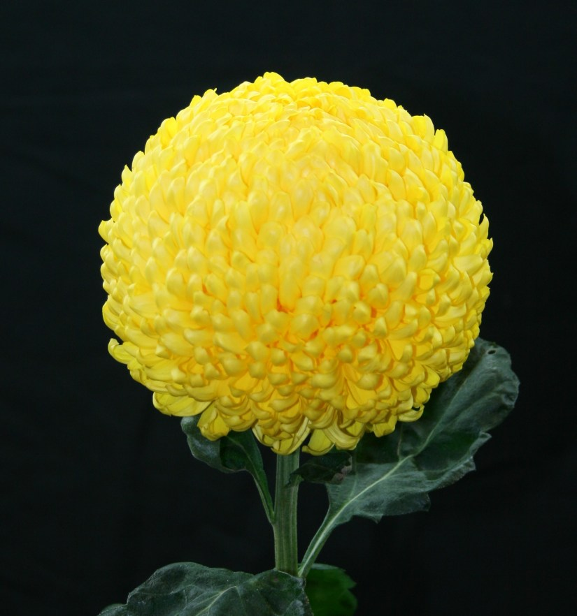 Regular incurve chrysanthemums feature a true spherical bloom equal in breadth and depth. These well-balanced beauties have petals that smoothly incurve and form a ball shape.