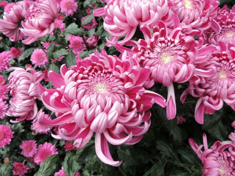 Irregular incurve mums feature large blooms with inward curving florets that cover their centers